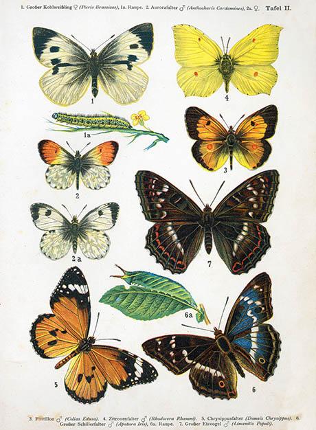 European-butterfly_044-II